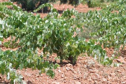 """UPA-UCE Extremadura critica la """"inactividad"""" de la Administración ante la """"ruina"""" de los viticultores"""