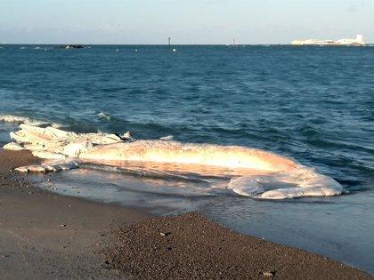 Encuentran el cadáver de una ballena de doce metros en Chiclana