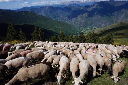 Agricultura vuelve a agrupar los rebaños del Pirineo para evitar ataques de los osos