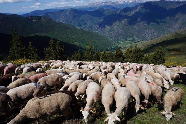 Rebaños del Pirineo agrupados en el Parc Natural