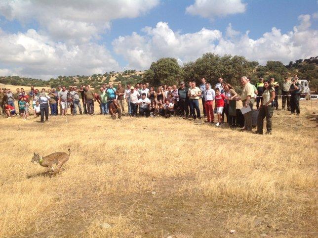 Suelta de ejemplar de lince ibérico, este lunes en Vilches (Jaén)