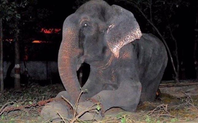 Raju, el elefante que llora después de 50 años encadenado