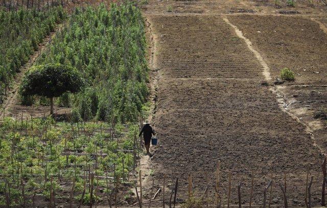 Agricultora en un campo de tomates (2012).
