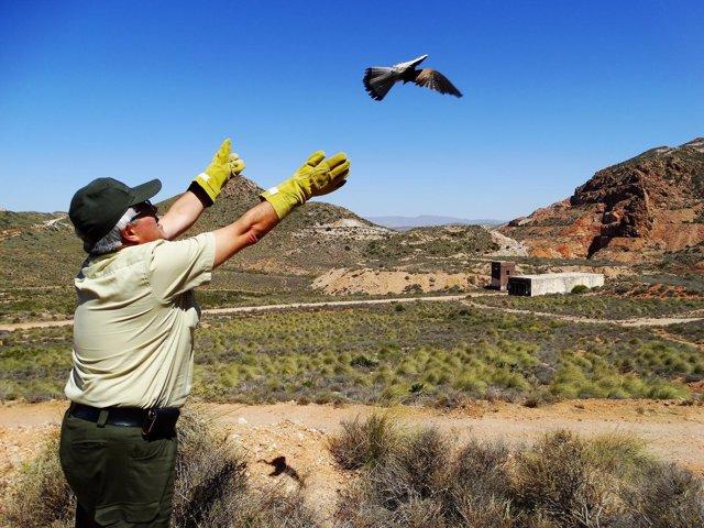 Un agente de Medio Ambiente lanza un cernícalo al aire en Cabo de Gata