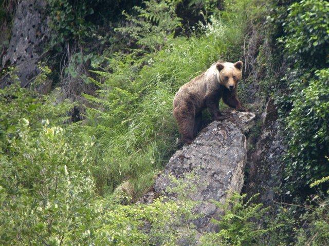 El oso pardo hallado muerto en la zona de Villablino (León) falleció ...