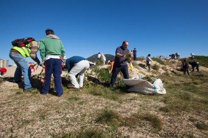 Laredo.- Unos 80 voluntarios de Provoca eliminan plantas invasoras en las dunas de la playa Salvé