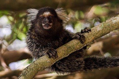 Científicos españoles contribuyen a descifrar el primer genoma de primates del Nuevo Mundo
