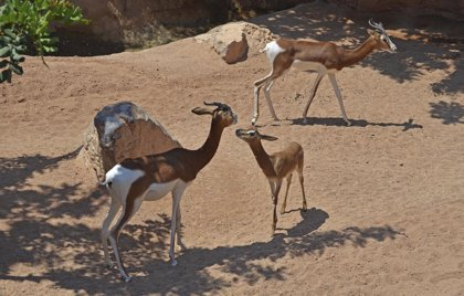 La cría de gacela Mhorr, una especie extinta en la naturaleza, disfruta de su primer verano en Bioparc