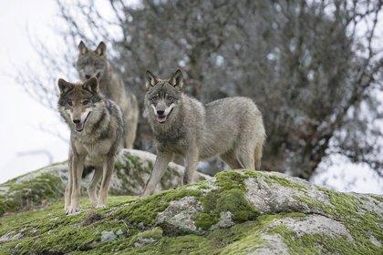 Gobierno central, CCAA, ayuntamientos y ganaderos debaten sobre prevención de los daños del lobo