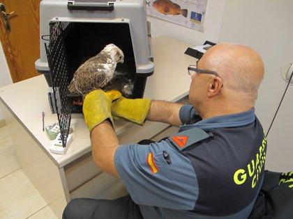 Recuperan tres aves rapaces en Gran Canaria