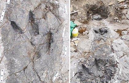 Huellas sugieren que el tiranosaurio cazaba en grupo