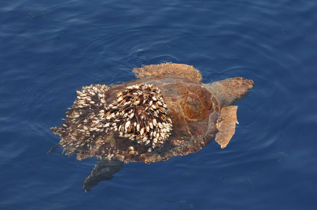 Fotografía de tortuga boba (Caretta caretta)
