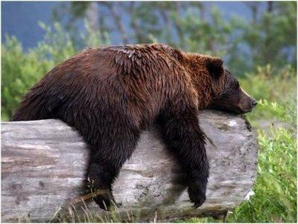 Los osos pardos revelan información sorprendente sobre la relación entre diabetes y obesidad