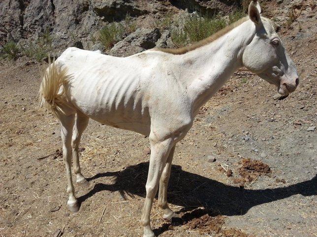 Caballo raquítico hambre inanición abandono animales equino
