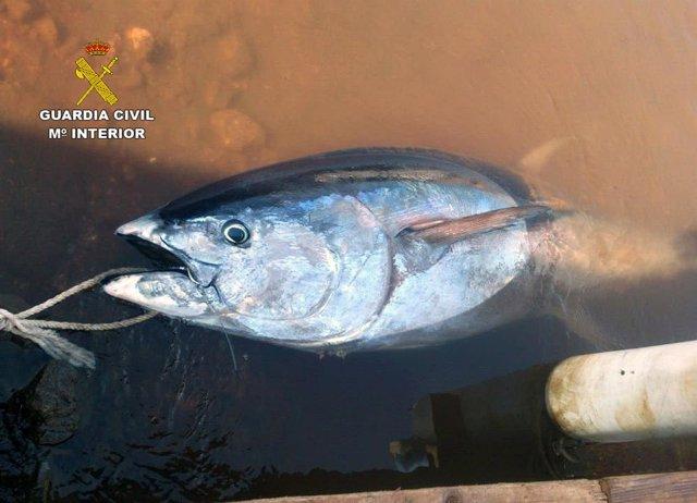 Atún de 158 kilos capturado en época de veda