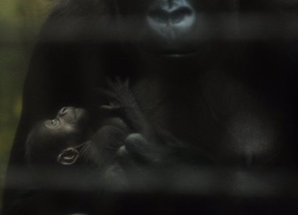 Nace en América del Sur el primer hijo de gorila en cautiverio