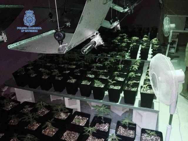 Macetas de marihuana incautadas