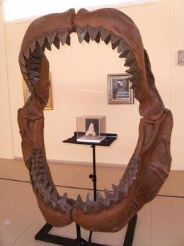 Diente de tiburón prehistórico hallado en Lepe (Huelva).