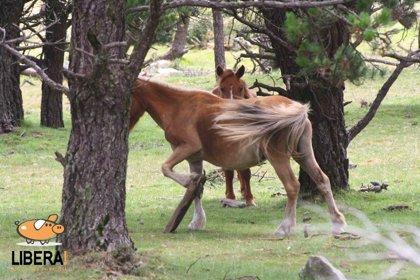 """Rural.- Libera! denuncia que unos 15.000 caballos de los montes gallegos """"no están identificados"""""""