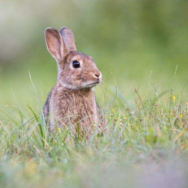 Conejos afectados por cepa de la NHV en Andalucía
