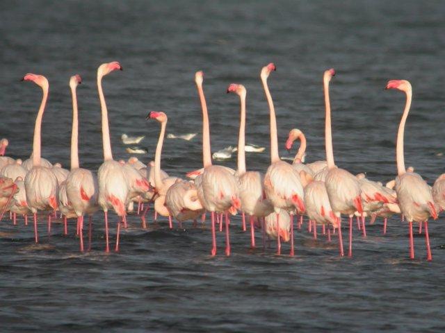 Ejemplares de flamencos en el parque natural de las Lagunas de la Mata