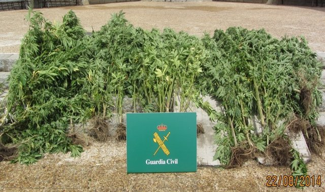 Guardia Civil incauta plantas marihuana