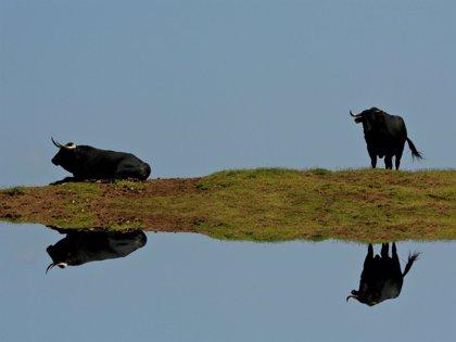 El toro de lidia protagonista de la octava edición del curso 'Derecho, toros y sociedad'