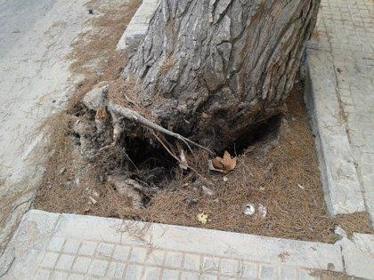 El Ayuntamiento de Palma repondrá los ocho árboles de la plaza Porta des Camp en noviembre