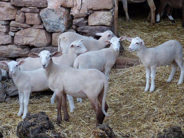 Corderos, ganado ovino, carne de cordero