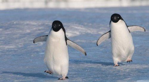 Dos ejemplares de pingüino adelaida en el Antártico