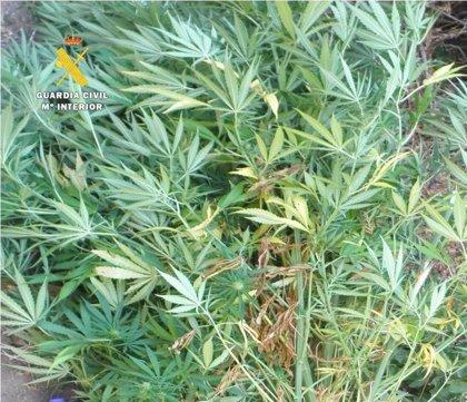 Descubierta una plantación de marihuana en un pinar de Burgos