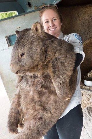 Patrick, el wombat más longevo del mundo