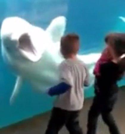 """Juno, la ballena beluga que """"juega a asustar"""" a los niños en el acuario"""
