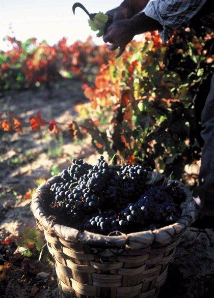 """La vendimia en Rioja Alavesa podría iniciarse la semana del 20 de septiembre con cosecha """"de calidad"""""""