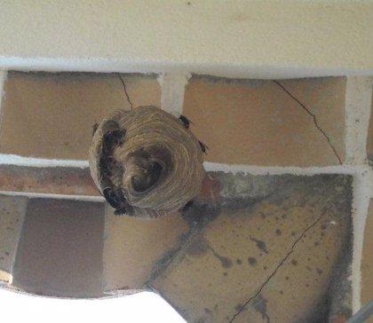 Agricultura elimina un nido de la avispa asiática en Roses (Girona)