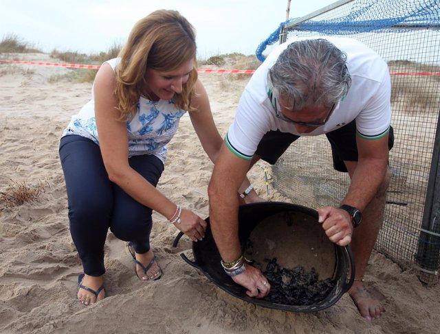 Nuevos ejemplares de tortuga boba nacidas en la playa de l'Albufera