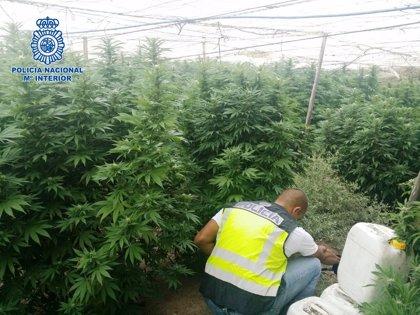 Hallan 161 plantas de marihuana en dos fincas de El Ejido (Almería)