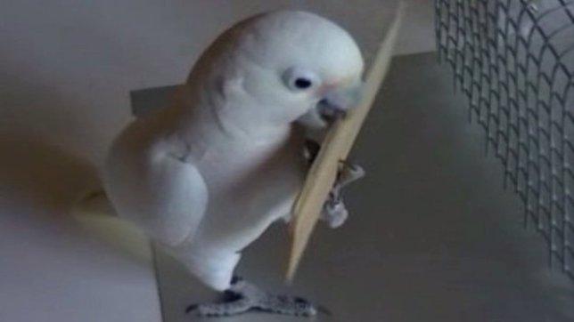 Cacatúa usando un palo