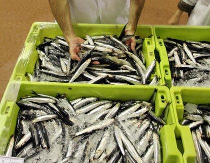 Pesca.- El cerco gallego saldrá esta tarde a por bocarte tras reabrir el Gobierno la pesca de anchoa en el Cantábrico