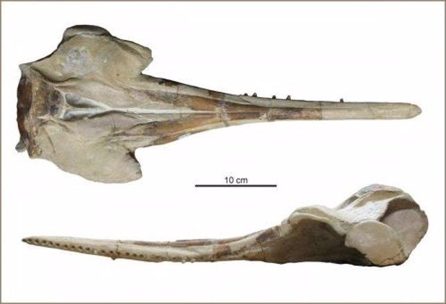 Mandíbula del nuevo delfín