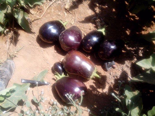 Berenjenas, cultivo, hortaliza, huerto,