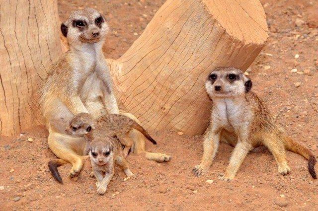 Madre suricata con sus crías en el Palmito Parks
