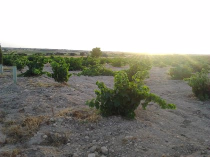 La Unió de Llauradors observa una merma de cerca del 50% en la producción de la uva de mesa del Vinalopó