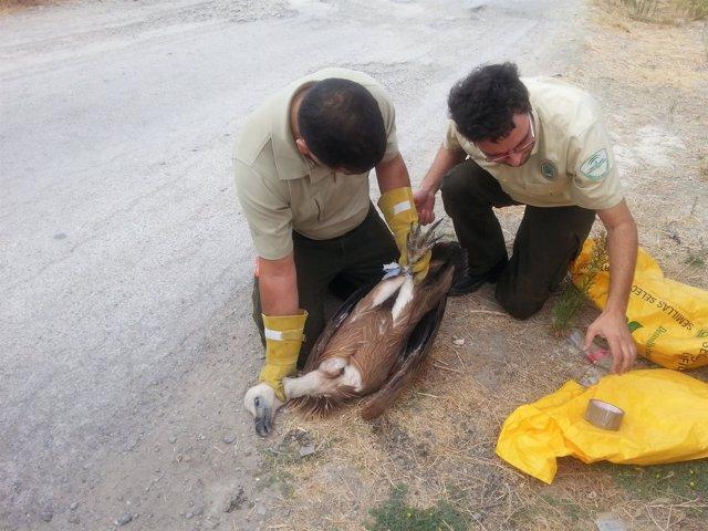 Agentes de Medio Ambiente tras rescatar a buitre leonado en Cañete de las Torres