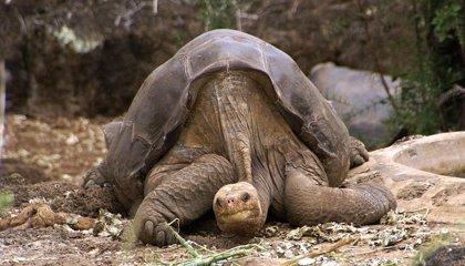 El Solitario George no volverá a las Galápagos hasta que no se den las condiciones pertinentes