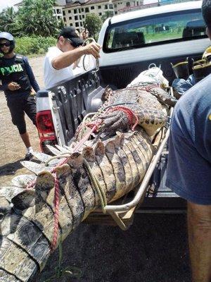 Cocodrilo capturado en Playa Jaco