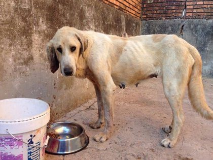 Imputan al dueño de una perra que presentaba extremada delgadez y heridas graves