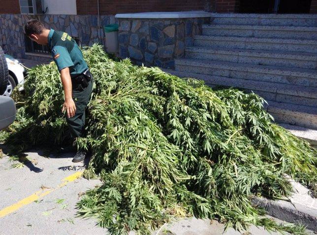 Un agente manipula las plantas de marihuana decomisadas