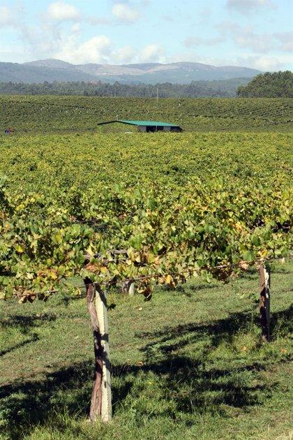 Viticultores fijan el coste de producción entre 1,10 y 1,25 euros el kilo para no vender a pérdidas