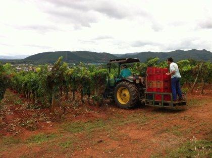 La D.O. de Monterrei vendimia la mayor cantidad de su historia al superar los de 2,7 toneladas de uvas